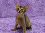 Yasha - Abyssinian Kitten For Sale - Hollywood, FL, US