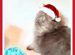 Smoke Persian kitten - Persian Kitten For Sale - Fort Wayne, IN, US