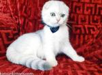 Fisher scottish fold boy silver shaded green eyed - Scottish Fold Kitten For Sale - CA, US