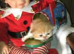 Daisy Diamonds orange and white male - Persian Kitten For Sale - Montgomery, TX, US