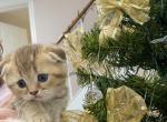 Tisha - Scottish Fold Kitten For Sale - Philadelphia, PA, US