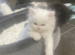 Silvermeows Christmas kittens - Persian Kitten For Sale - Cannon Beach, OR, US