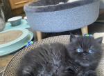 Christmas litters - Persian Kitten For Sale - Cannon Beach, OR, US