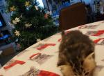 Shy's Tabby Persian - Persian Kitten For Sale - Greenville, OH, US
