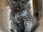 Scottish Fold female blue with white - Scottish Fold Kitten For Sale -