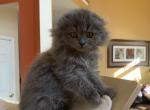 Scottish fold female in lilac - Scottish Fold Kitten For Sale - Bayville, NJ, US