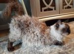 Curly kittens - Selkirk Rex Kitten For Sale -