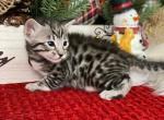 Empire Savannah LEON - Savannah Kitten For Sale - Oneonta, NY, US