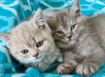 Friends Litter - British Shorthair Kitten For Sale - Federal Way, WA, US