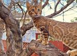 Papaya - Bengal Kitten For Sale - CA, US