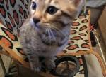 Ozzy - Bengal Kitten For Sale - San Antonio, TX, US