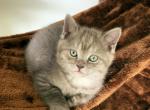 Chandler - British Shorthair Kitten For Sale - Federal Way, WA, US