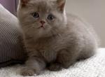 Gunther - British Shorthair Kitten For Sale - Federal Way, WA, US