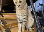 F1savannahkittens com we have kittens always - Savannah Kitten For Sale -