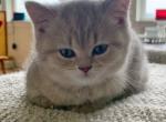 Phoebe - British Shorthair Kitten For Sale - Federal Way, WA, US