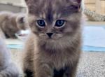 Joey - British Shorthair Kitten For Sale - Federal Way, WA, US