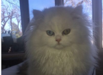 Solid whites with heterochromatic eyes - Persian Kitten For Sale -