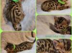 Green collar male - Bengal Kitten For Sale - Bangor, MI, US