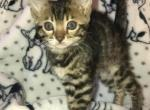 BENGAL KITTENS - Bengal Kitten For Sale - Brewster, NY, US