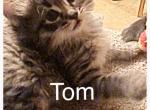 Tom - Maine Coon Kitten For Sale -