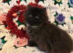 Midnight - Persian Kitten For Sale - Fordland, MO, US