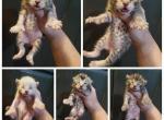 New liter - Highlander Kitten For Sale - Monroe, MI, US