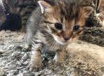 2 Jungle Bobs left Boy and Girl - Pixie-Bob Kitten For Sale -