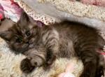 Stunning Scottish Straights LUXURY KITTENS - Scottish Straight Kitten For Sale - MI, US