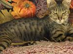 SBT Savannah kittens Available - Savannah Kitten For Sale - Cortez, CO, US