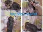 Boy - Highlander Kitten For Sale - Monroe, MI, US