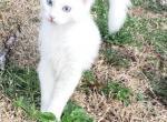Blue eyed white mink Ragdoll kitten - Ragdoll Kitten For Adoption - Anniston, AL, US