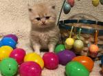 Baby Garfield - Persian Kitten For Sale - Montgomery, TX, US