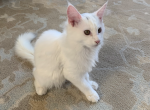 Romeo Maine Coon - Maine Coon Kitten For Sale - Bayville, NJ, US