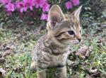 Gemini F5 Savannah Kitten - Savannah Kitten For Sale -