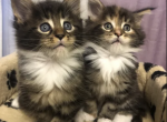 Brother and Sister - Maine Coon Kitten For Sale - MA, US
