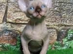 Girl I - Sphynx Kitten For Sale - Brooklyn, NY, US