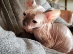 Max - Sphynx Kitten For Sale - Rockford, IL, US