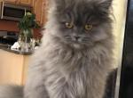 Flash male - Scottish Straight Cat For Sale -