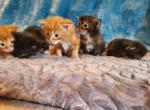Link and Zelda's Kittens - Maine Coon Kitten For Sale -