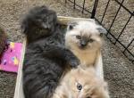 Scottish fold mix - Scottish Fold Kitten For Sale - MN, US