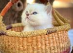 Bear - Ragdoll Kitten For Sale -