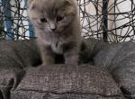 Scottish fold male - Scottish Fold Kitten For Sale -