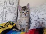 only grey left - Domestic Kitten For Sale -