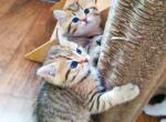 Elvin - British Shorthair Kitten For Sale - Dnipropetrovsk Oblast, UA