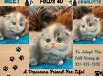 CHARLOTTE FEMALE MUTED CALICO - Scottish Fold Kitten For Sale -