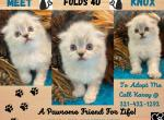 KNOX SILVER CHINCHILLA MALE - Scottish Fold Kitten For Sale -