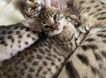 Luna - Savannah Kitten For Sale - Philadelphia, PA, US