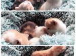 Litter A - British Shorthair Kitten For Sale - Savannah, GA, US