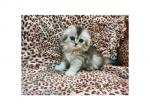 She looks like a wolf rare color baby girl Naomi - Scottish Fold Kitten For Sale - CA, US