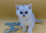 Canther - British Shorthair Kitten For Sale - Kent, WA, US